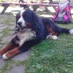 Pies Wiślański
